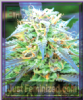 Emerald Triangle Royal Purple Kush Fem 5 Seeds